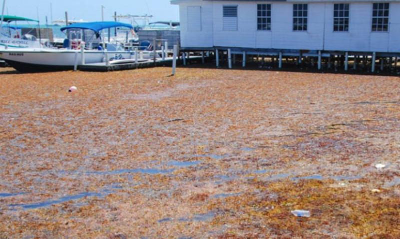 Sargassum in Belize in March  of 2018. Photo Courtesy of Milton Haughton of CRFM.